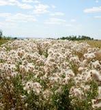 领域的白色蓬松植物 库存照片