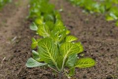 领域种植用圆白菜 库存图片