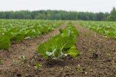 领域种植用圆白菜 免版税库存照片