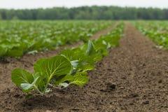 领域种植用圆白菜 免版税图库摄影