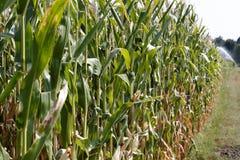 领域种植用玉米 图库摄影
