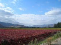 领域种植用葡萄树,桃红色和绿色葡萄 免版税库存照片