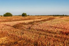 领域秸杆荞麦农业 库存照片