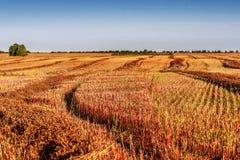 领域秸杆荞麦收获农业 图库摄影