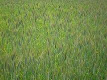 领域竞选包括草和绿色玉米穗 免版税库存照片
