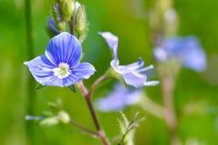 领域紫罗兰的精美花开了花入领域 库存照片