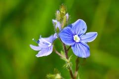领域紫罗兰的精美花开了花入领域 免版税库存照片