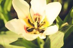领域花白色郁金香 与开花的白色郁金香/夏天花的美好的自然场面 美丽的草甸 夏天背景 库存照片