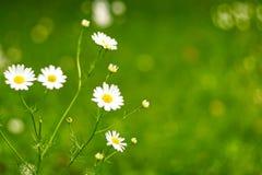 领域花 在草甸的春黄菊花 库存图片