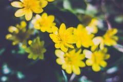 领域花 黄色花沼泽 库存图片
