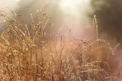 领域草和露水 图库摄影