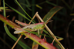 领域蚂蚱(Chorthippus brunneus) 库存照片
