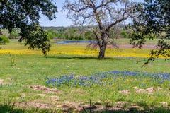 领域覆盖与得克萨斯矢车菊一刈幅的草,黄色切开了叶子Groundsel和与一棵大树和P的桃红色晚樱草 库存照片