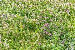 领域长满与三叶草和草本 免版税库存照片