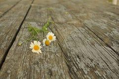 领域雏菊三朵花在老木头纹理的  库存图片