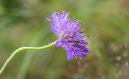 领域飞蓬, Knautia arvensis,一朵花有绿色软的背景 免版税库存照片