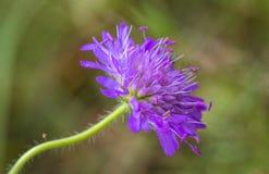 领域飞蓬, Knautia arvensis,一朵花有绿色软的背景 库存图片