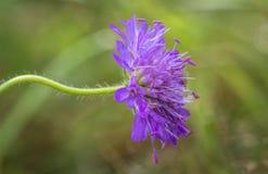 领域飞蓬, Knautia arvensis,一朵花有绿色软的背景 库存照片