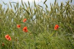 领域鸦片,捷克,欧洲玉米和开花的春天  免版税库存图片