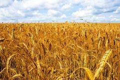 领域麦子 库存照片