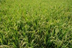 水稻领域,关闭 免版税库存照片