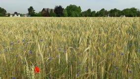 领域 农村的横向 麦子 土蜂和蜂收集花蜜 股票录像