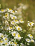 领域医疗春黄菊的花 库存图片