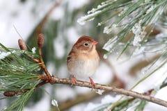 领域麻雀(平头麻雀pusilla)在一个积雪的分支 免版税库存图片