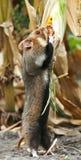 领域仓鼠聚集玉米 免版税库存图片