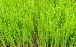 水稻领域 库存图片