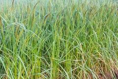 水稻领域 免版税库存图片