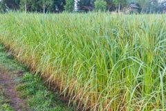 水稻领域 图库摄影