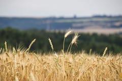 领域a的美丽的景色在一个晴天 麦子-接近的o 图库摄影