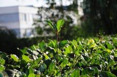 领导植物 库存图片