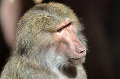 领导猴子 库存图片