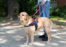 领路狗帮助一个盲人 库存图片