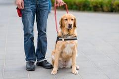 领路狗帮助一个盲人 图库摄影