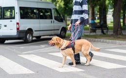 领路狗帮助一个盲人 免版税库存照片