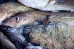 颊须鲶鱼和鳕鱼 图库摄影