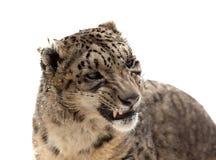 题头在雪白的查出的豹子 库存照片