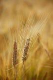 题头成熟二麦子 库存照片