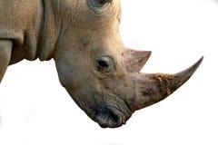 题头查出的犀牛 库存照片