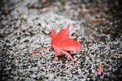 颜色变动槭树在秋天 免版税库存图片