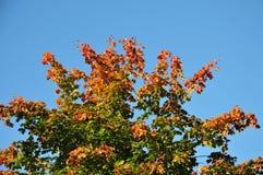 颜色树梢秋天有蓝色背景 免版税库存照片