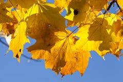 颜色槭树叶子 免版税图库摄影