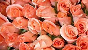 颜色淡桔色的玫瑰 免版税库存图片