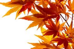 颜色留下槭树启用 免版税库存图片