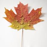 颜色秋天叶子槭树 免版税库存照片
