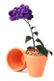 颜色种植紫罗兰 免版税图库摄影