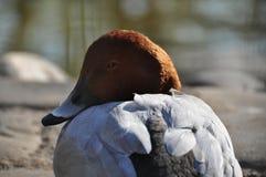颜色野鸭 免版税库存照片